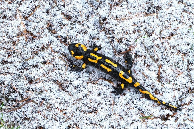 Salamandra en nieve foto de archivo libre de regalías