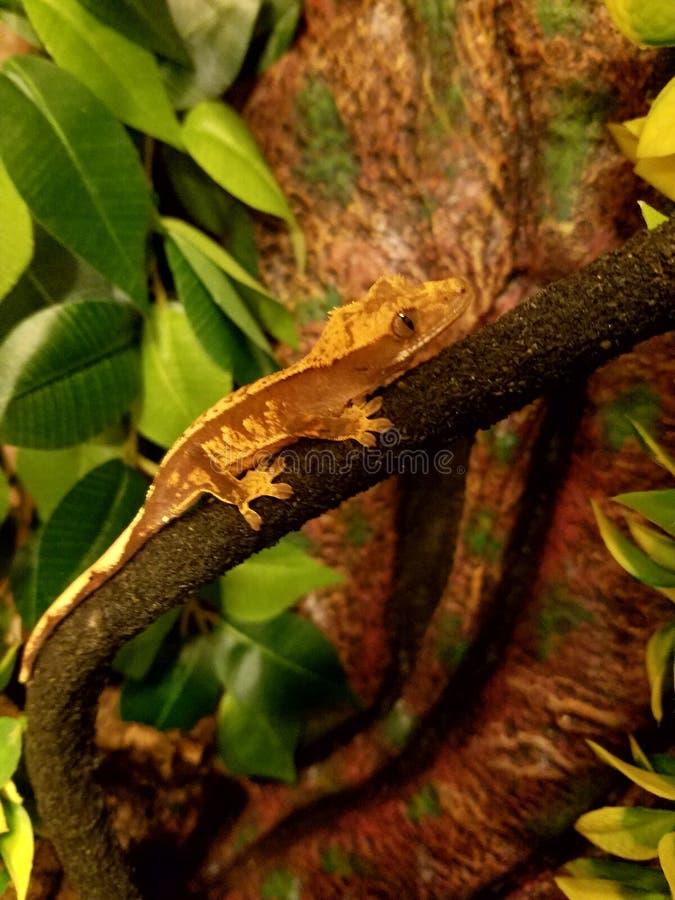 Salamandra encaramada imagen de archivo libre de regalías