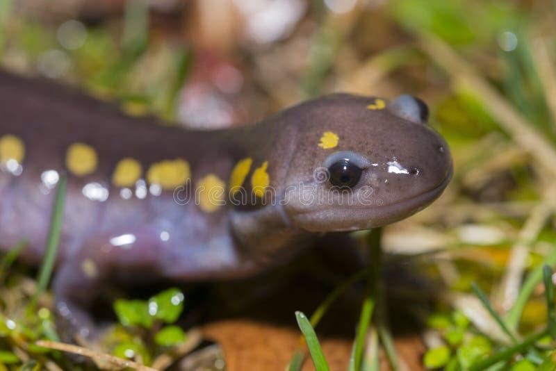 Salamandra macchiata immagini stock libere da diritti