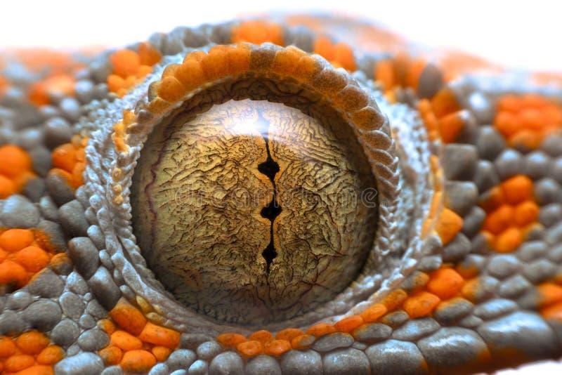 Salamandra macra estupenda del ojo fotografía de archivo