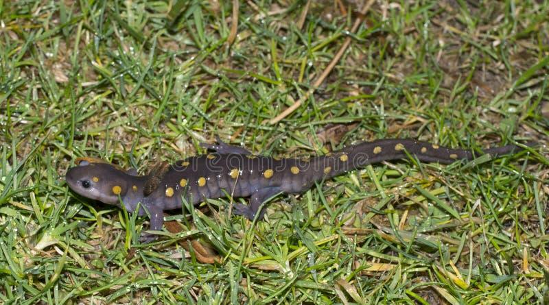 Salamandra manchada foto de archivo libre de regalías