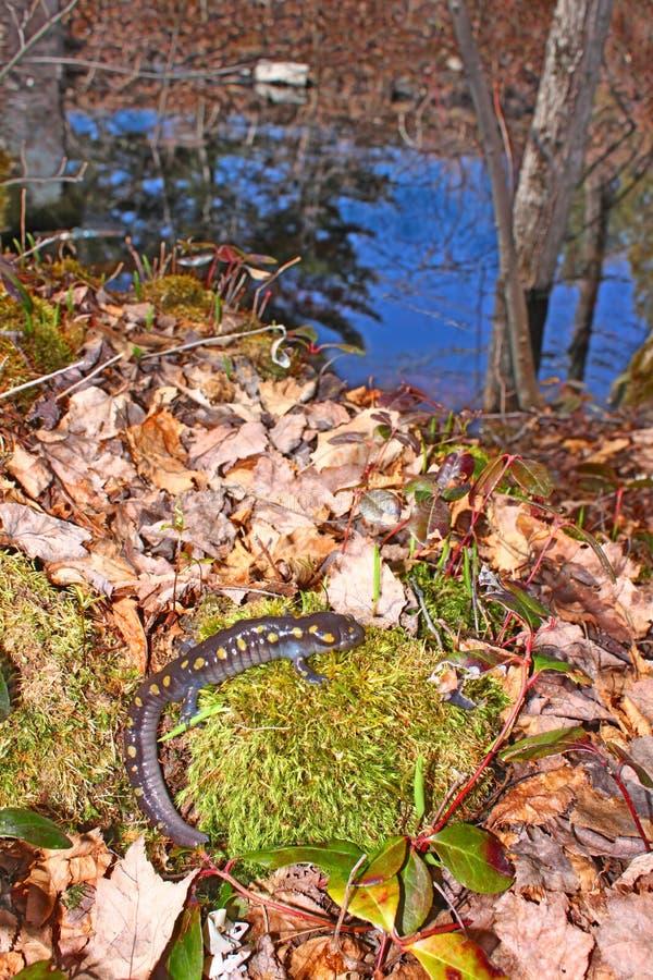 Salamandra manchada Northwoods Michigan imagen de archivo libre de regalías