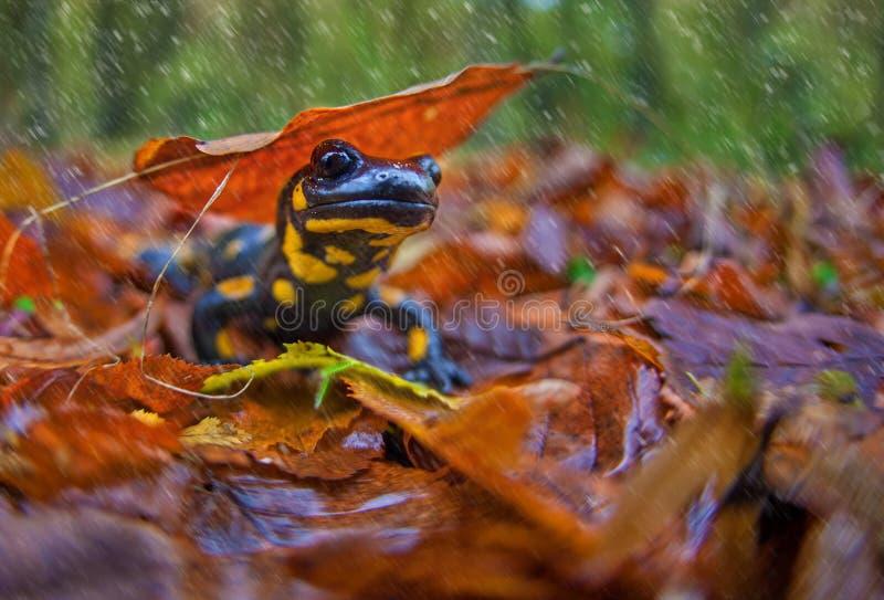 Salamandra nella caduta fotografia stock