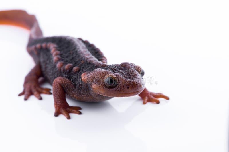 Salamandra (tritone himalayano) su fondo e sulla vita bianchi sul Th immagine stock libera da diritti