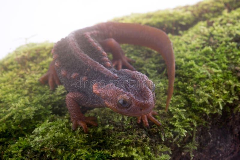 Salamandra (tritone himalayano) su fondo e sulla vita bianchi sul Th fotografia stock