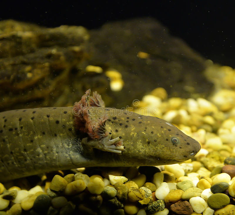 Salamandre de l'eau photographie stock libre de droits