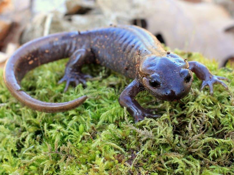 Salamandre du nord-ouest photo libre de droits