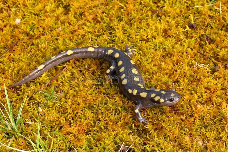 Salamandre repérée photo stock