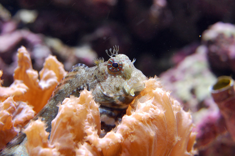salarias blenny jeweled fasciatus стоковая фотография rf