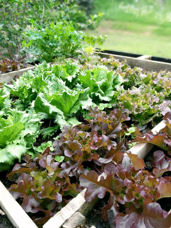 Salat in einem hohen Gartenflecken stockbild