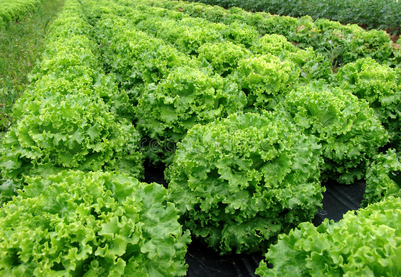 Salatanlage stockbilder