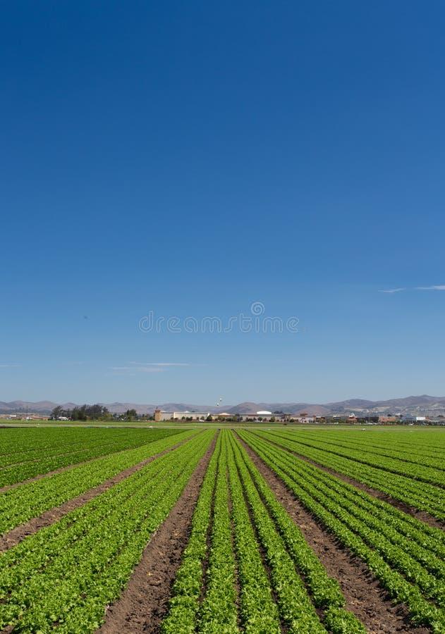 Salatfeld-Panorama lizenzfreies stockbild