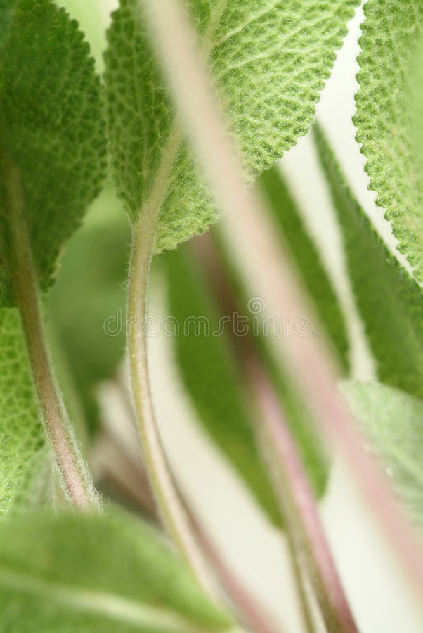 Salbei, Salvia Officinalis stockfoto