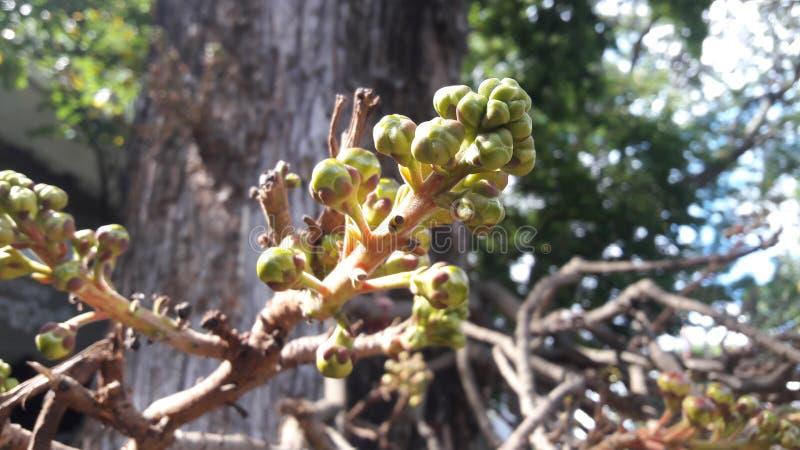 Salblommaträd i Sri Lanka royaltyfri foto