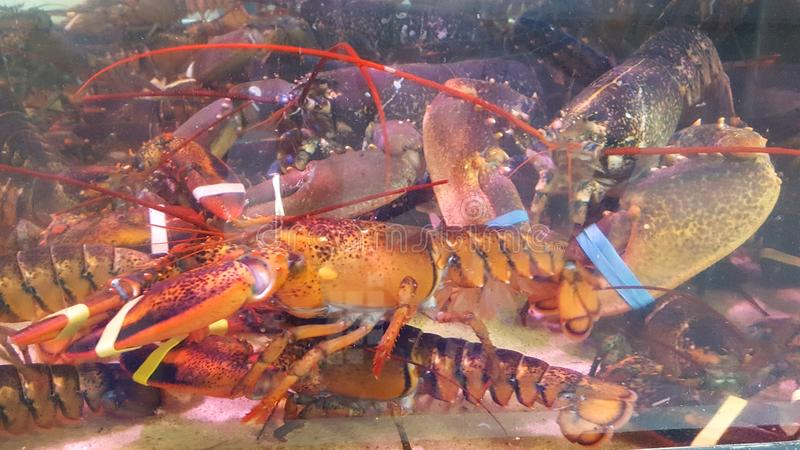 Sale of crayfish from the aquarium with tied claws at traditional seafood restaurant for sale stock images