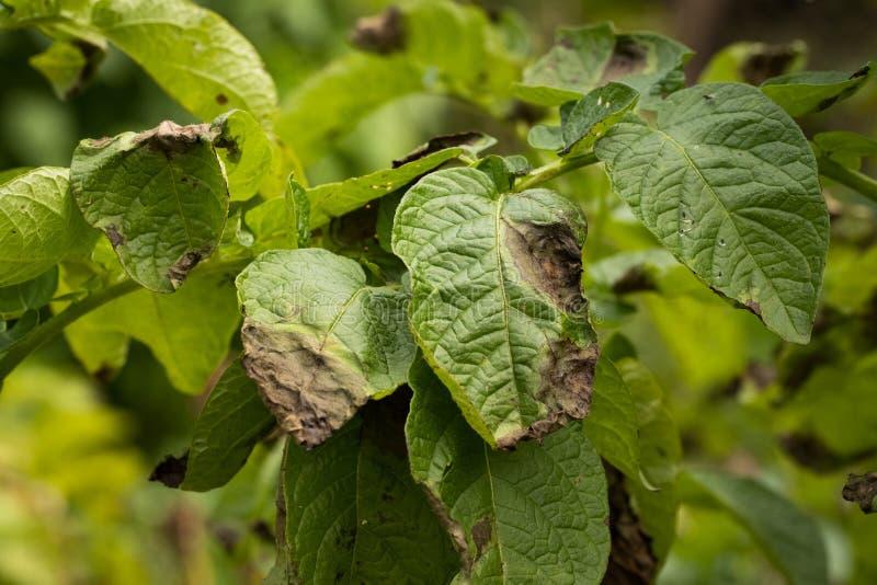 Sale de la planta del Phytophthora pegado patata fotos de archivo