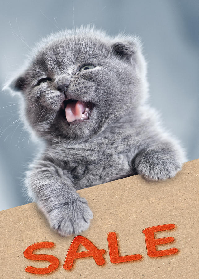 Sale!. Funny kitty with empty cardboard. Pet portrait stock image