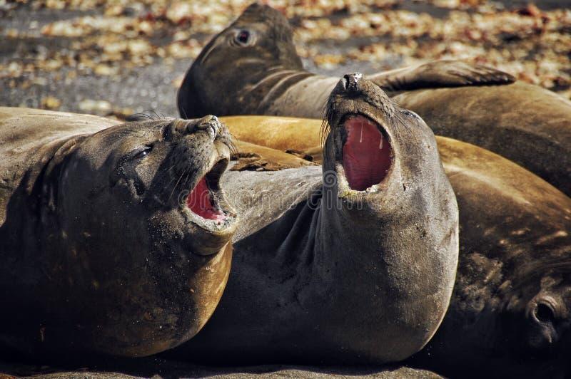 Antarctic animal royalty free stock photo