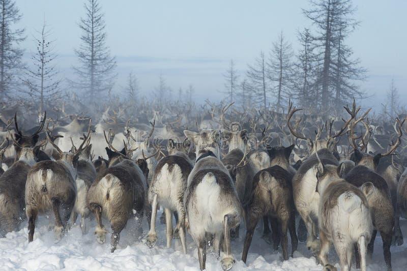 Salekhard, Russia, March 2018, nomadic camp of reindeer herders stock photo