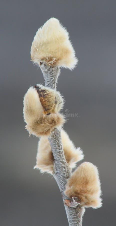 Salgueiro ártico - arctica do Salix foto de stock