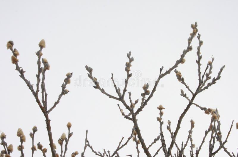 Salgueiro ártico - arctica do Salix fotos de stock royalty free