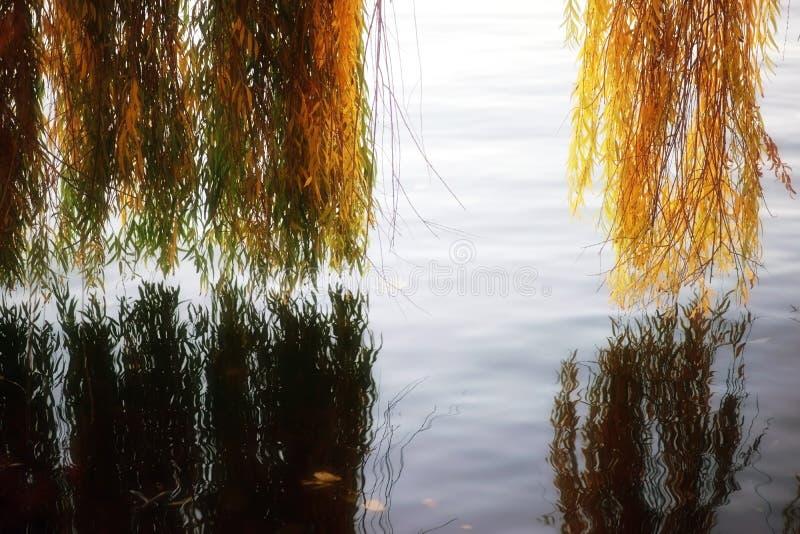 Salgueiro chorando de folhas de outono imagens de stock