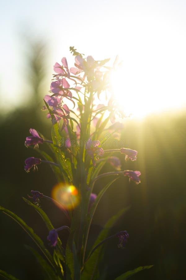 Salgueiro-erva no alvorecer no sol fotografia de stock