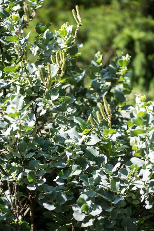 Salgueiro felpudo, arbusto do lanata do Salix no sol do outono foto de stock royalty free