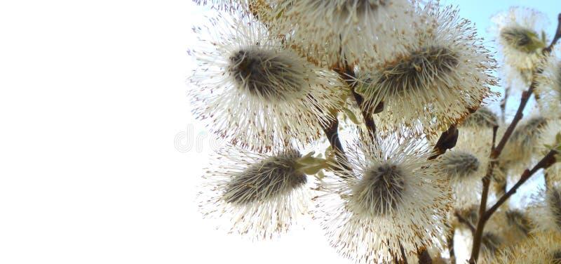 Salgueiro na flor no fundo do céu azul, primavera, fim acima fotos de stock royalty free