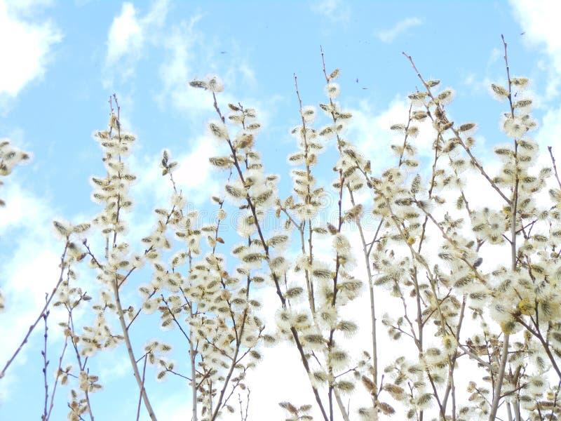 Salgueiro na flor no fundo do céu azul, primavera, fim acima, refeição matinal do salgueiro fotografia de stock royalty free