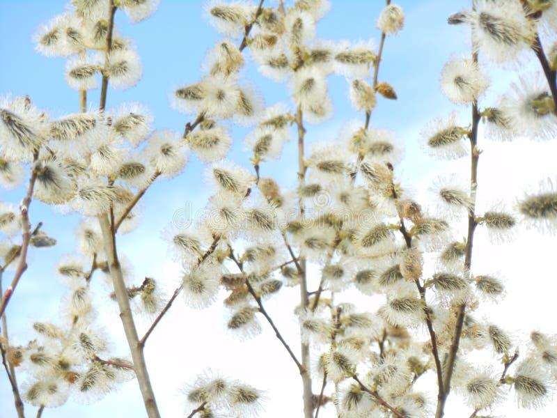 Salgueiro na flor no fundo do céu azul, primavera, fim acima, refeição matinal do salgueiro fotos de stock