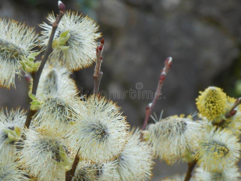 Salgueiro na flor no fundo, primavera, fim acima, refeição matinal do salgueiro fotos de stock