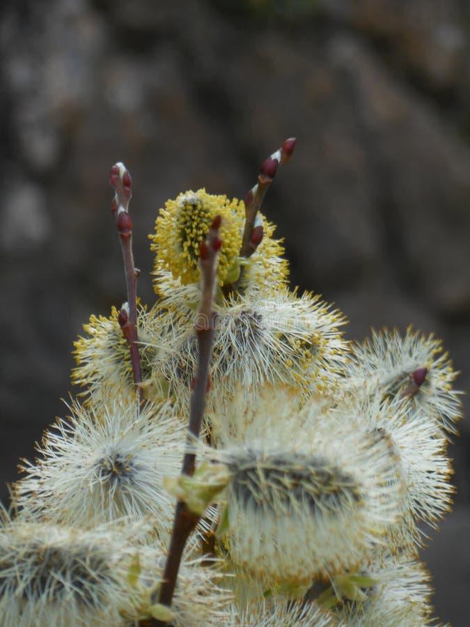 Salgueiro na flor no fundo, primavera, fim acima, refeição matinal do salgueiro imagem de stock