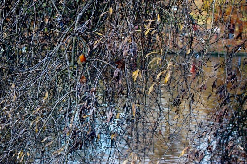 Salgueiro no rio com pisco de peito vermelho fotos de stock royalty free