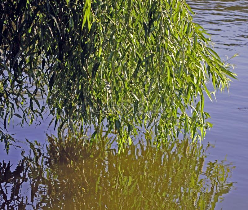 Salgueiro refletido na água imagem de stock royalty free
