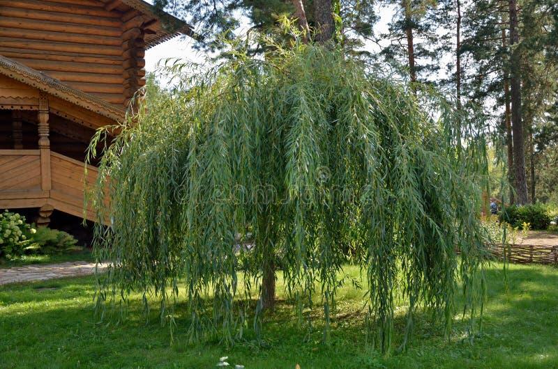 Salgueiros do arbusto em um gramado verde fotografia de stock