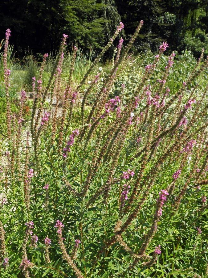 Salicaria Lythrum, βοτανικός κήπος του Ζάγκρεμπ μέχρι το καλοκαίρι στοκ φωτογραφίες
