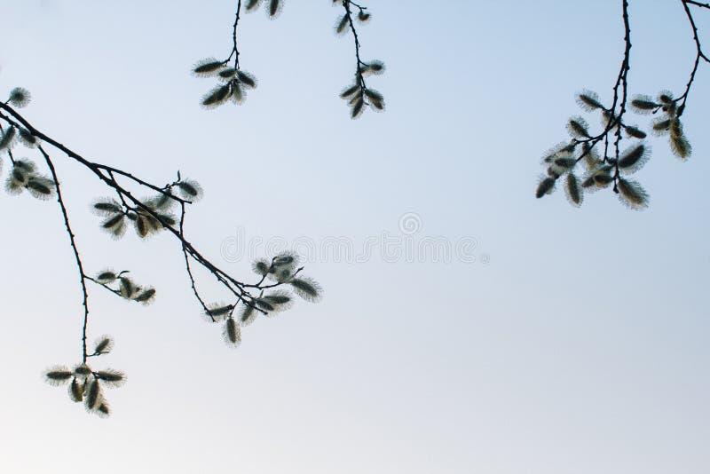 Salice di fioritura nel parco, contro lo sfondo del cielo blu della molla fotografie stock libere da diritti