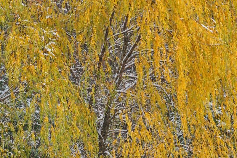 Salice piangente di autunno fotografia stock