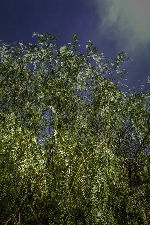 Salice piangente variopinto che raggiunge fino ad un cielo blu profondo delle piante indigene in Sicilia fotografie stock libere da diritti