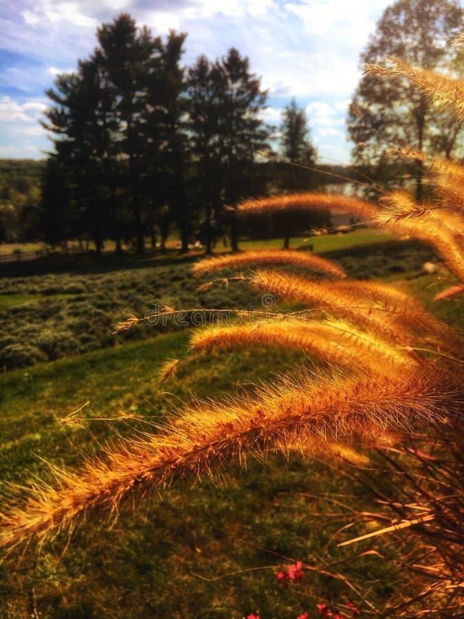 Salici dorati nel vento fotografia stock