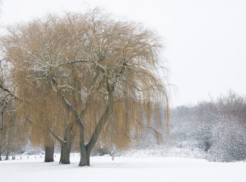Salici in inverno fotografia stock