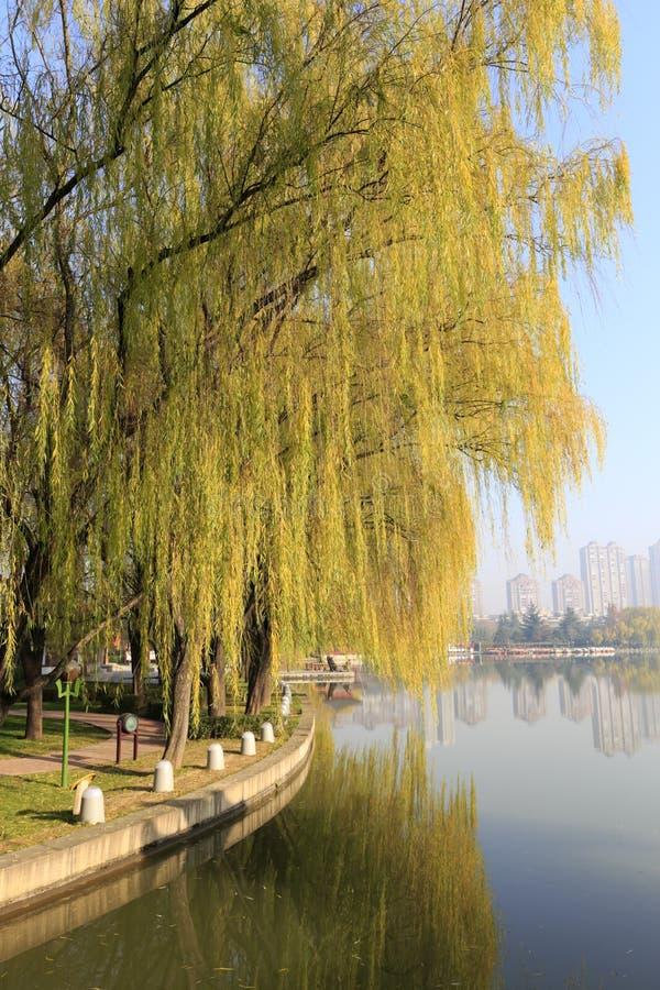 Salici a lungomare del parco datangfurongyuan, adobe rgb fotografia stock libera da diritti