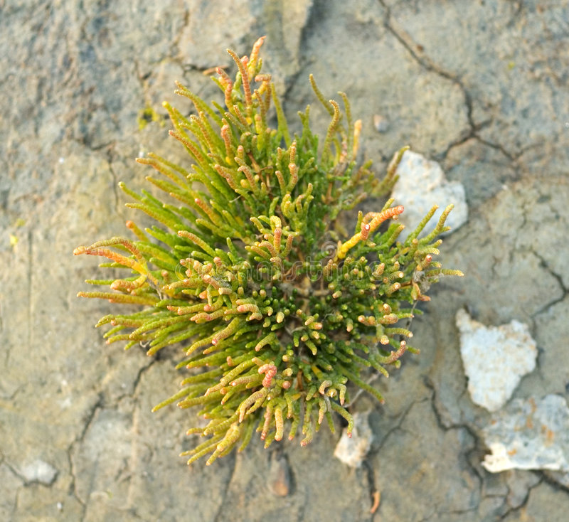 Salicornia op droge Klei royalty-vrije stock afbeelding