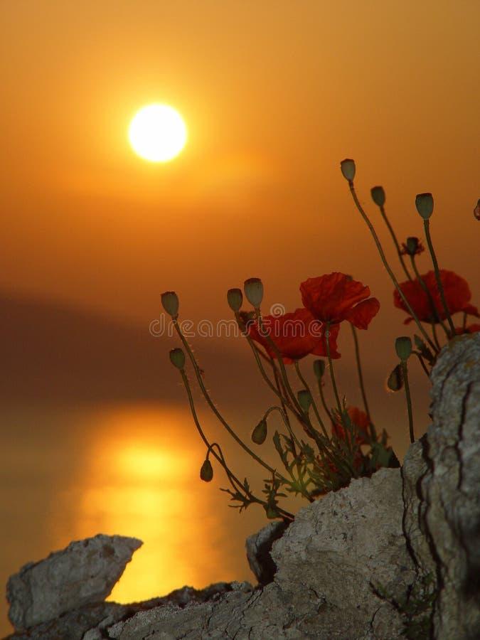 Salida del sol con la amapola imágenes de archivo libres de regalías