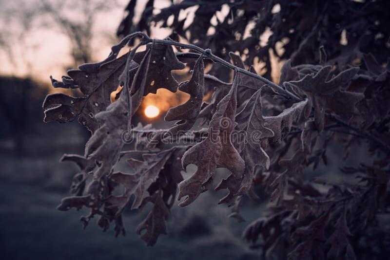 Salida del sol de la caída a través de las hojas del roble imágenes de archivo libres de regalías