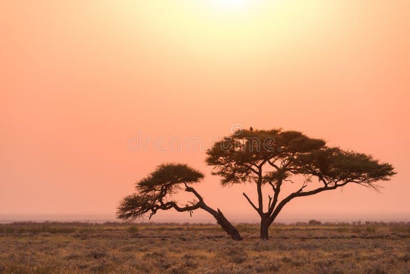 Salida del sol del árbol del acacia de Etosha fotografía de archivo