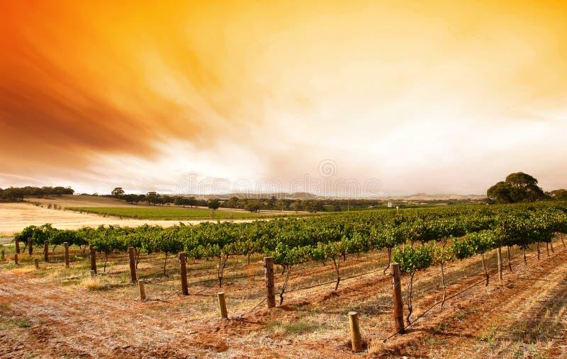 Salida del sol del viñedo del verano imagen de archivo
