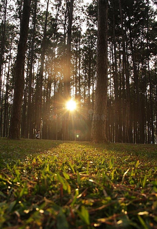Salida del sol en bosque del pino imagenes de archivo
