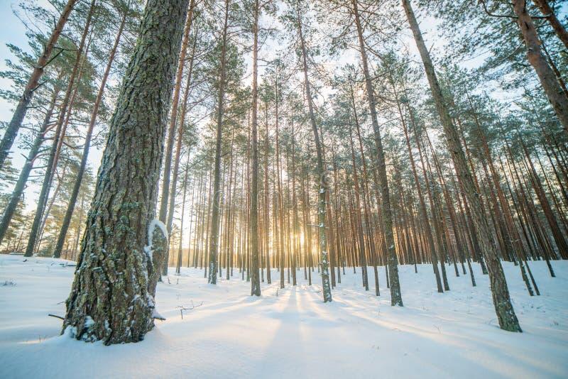 salida del sol en bosque del pino del invierno fotos de archivo